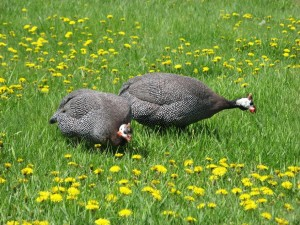 Rescued Guinea Hens; Thelma & Louise